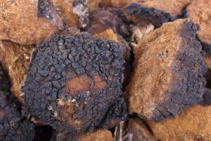 Chaga Pilz Brocken auf einem Haufen