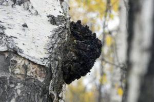 Chagapilz waechst aus dem Stamm einer Birke heraus