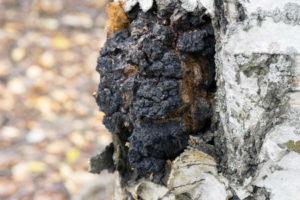Chaga Pilz auf Birke